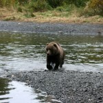 Bear at Buskin River